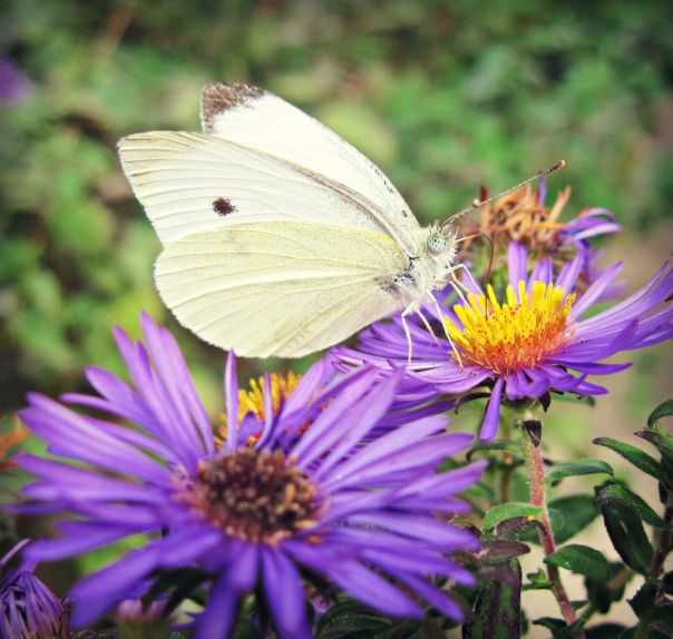 Cabbage White Butterfly in Purple Asters by OliveLoaf Design